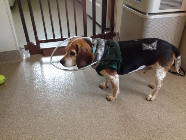 "Henry wears a special ""Halo vest"" that prevents him from injury when exploring new territory."