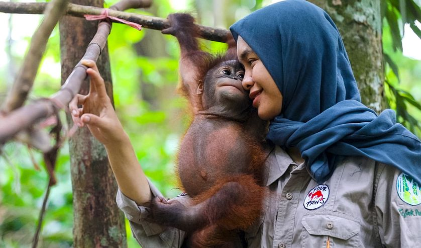 surrogate mom holds onto baby orangutan