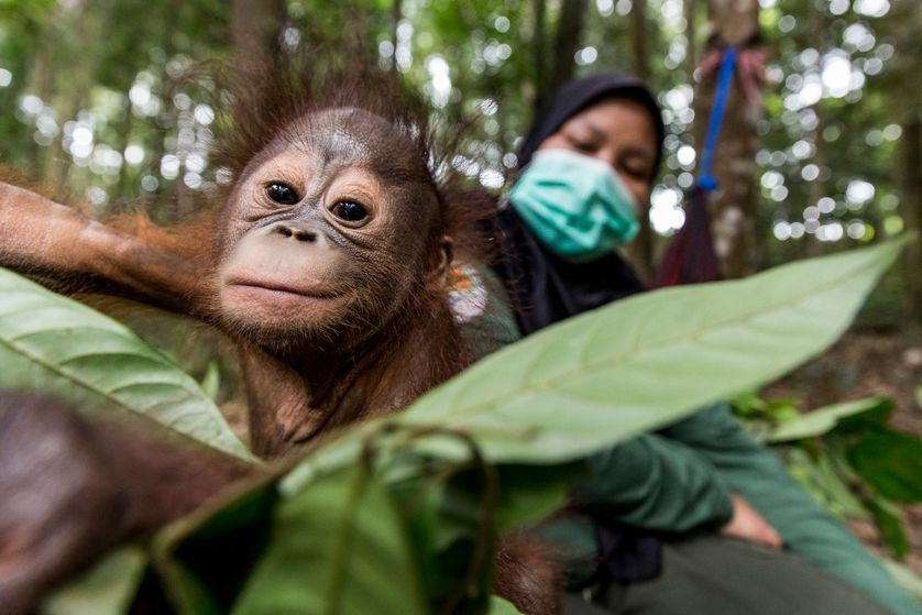 a baby orangutan reaches for a leaf while its surrogate mother watches