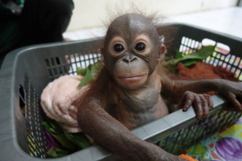 baby orangutan in a basket