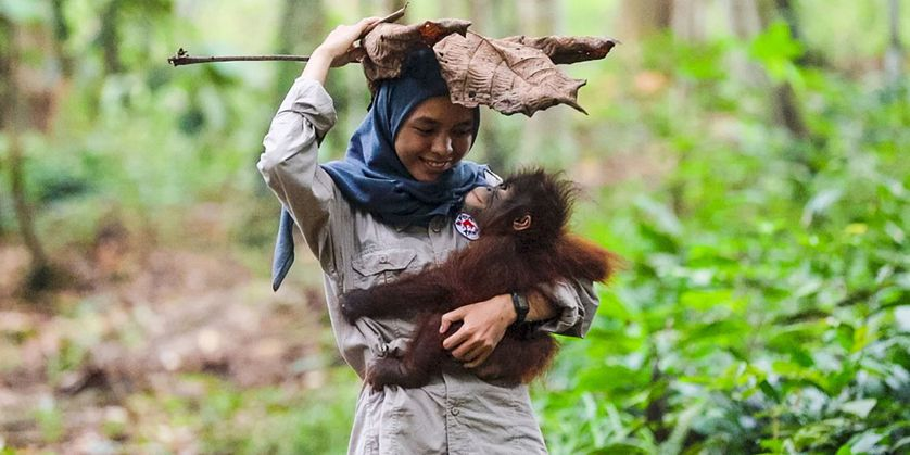 A surrogate mother and baby orangutan play in forest