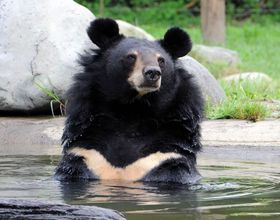 bear plays in water