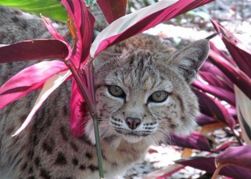 bobat in lilies