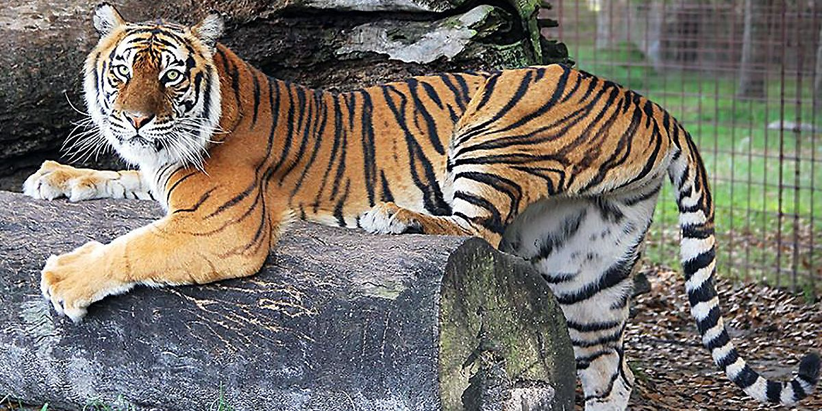 a tiger poses in wild