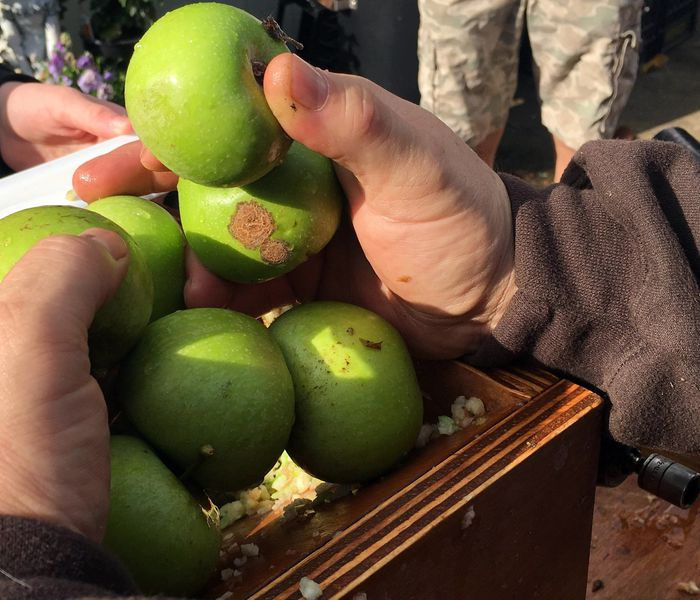 hands hold apples for an apple press