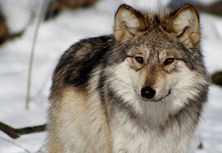 Mexican Gray Wolf in snow