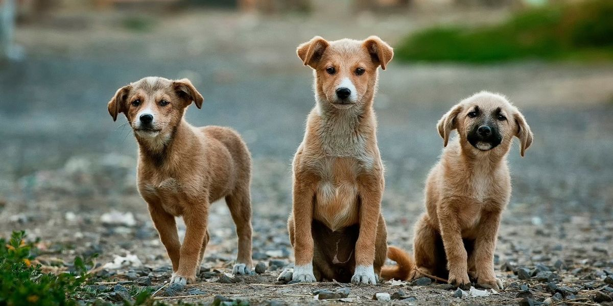 3 puppies look at camera outside