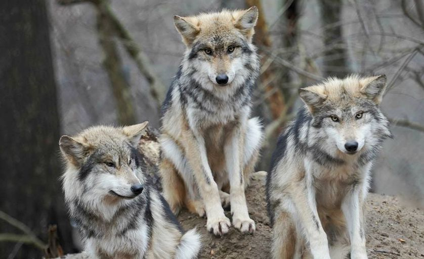 Three gray wolves in wild