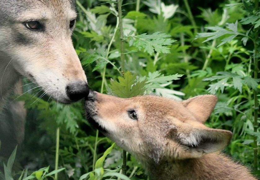 Two red wolves touch noses in wild