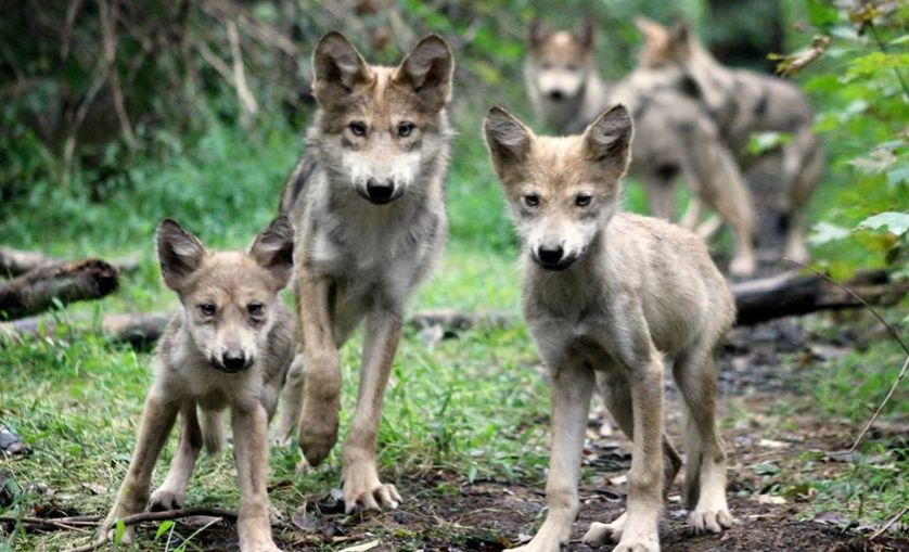 three Mexican Gray Wolf puppies