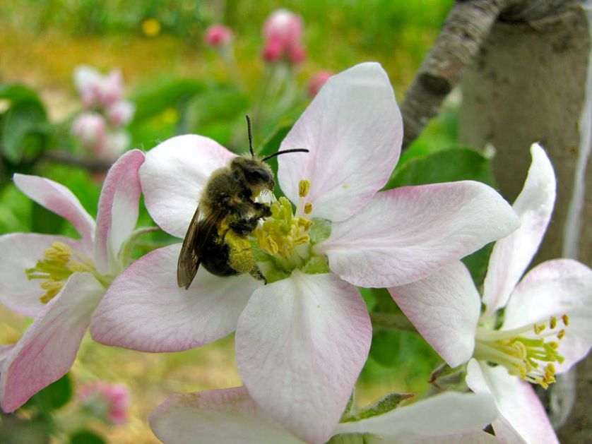 closeup of bee on white flower