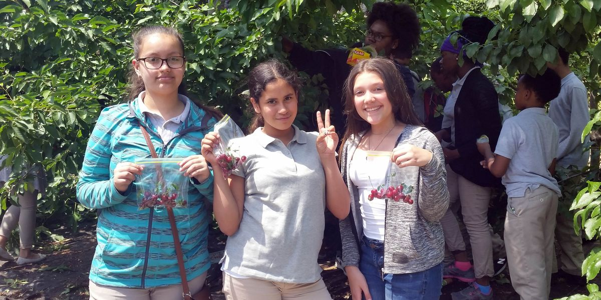 Young students participate in a cherry harvest