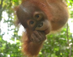 baby orangutan in forest