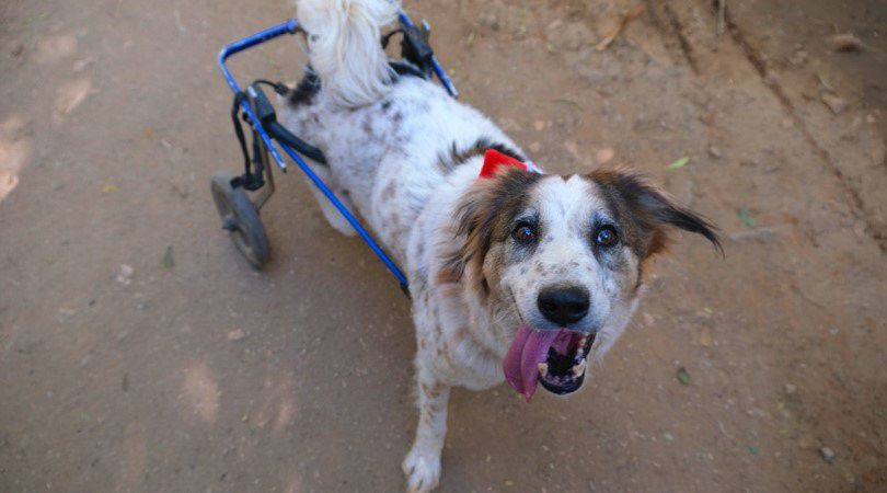 dog in wheelchair smiles at camera